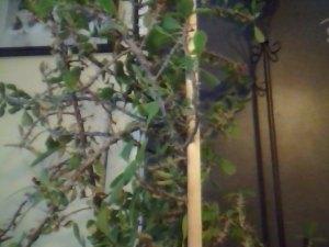 thorn tree